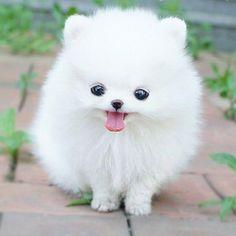 Pomeranian Puppy (1).jpg